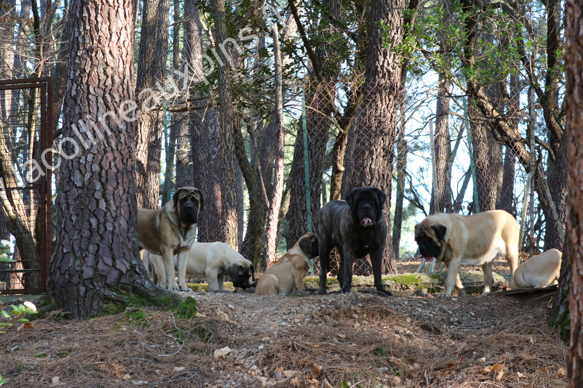 mastiffs De La Colline Aux Pins d'Or.