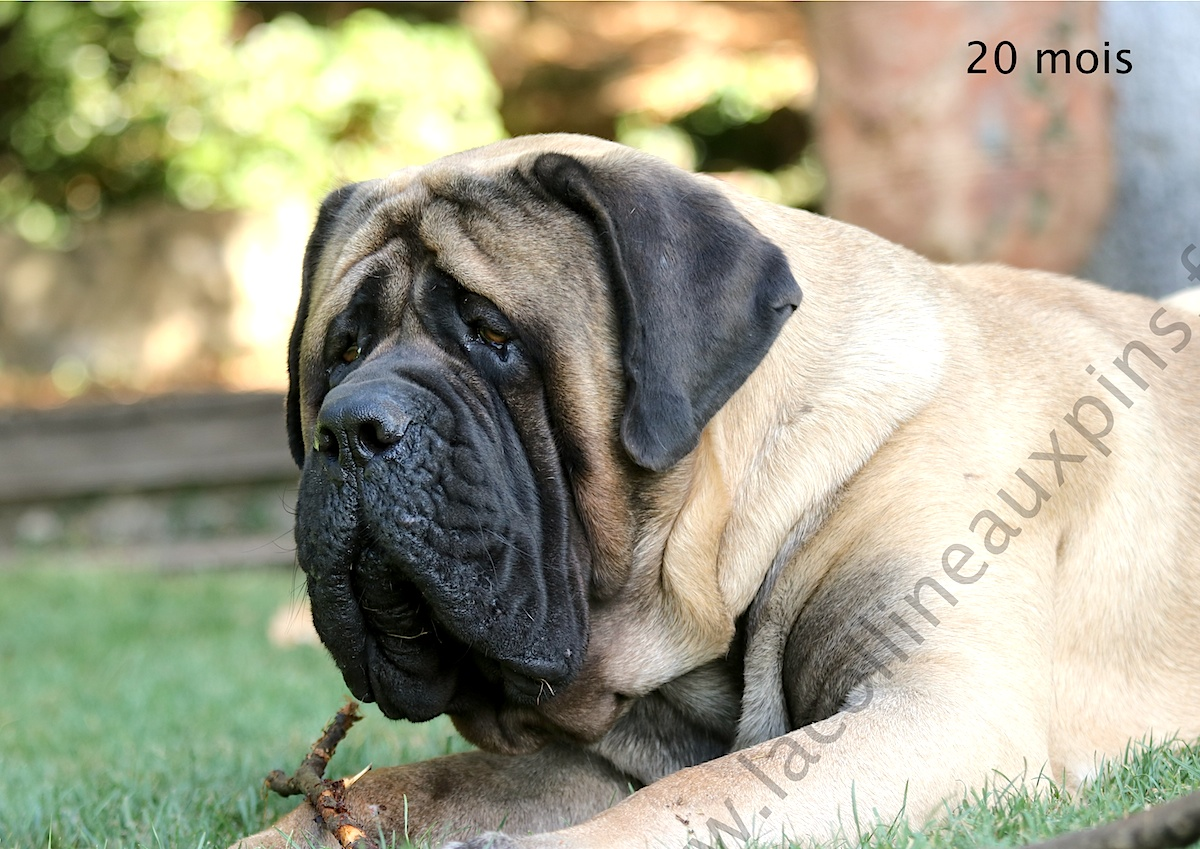 elevage_mastiff_anglais_en_france