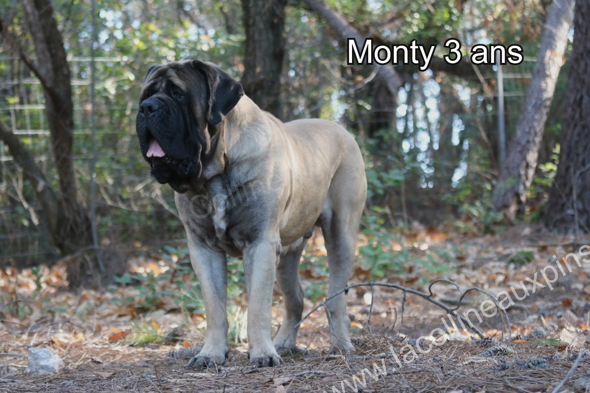 COMPORTEMENT DU MASTIFF